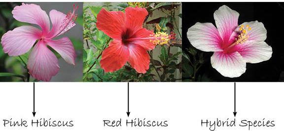 hibiscus powder for hair